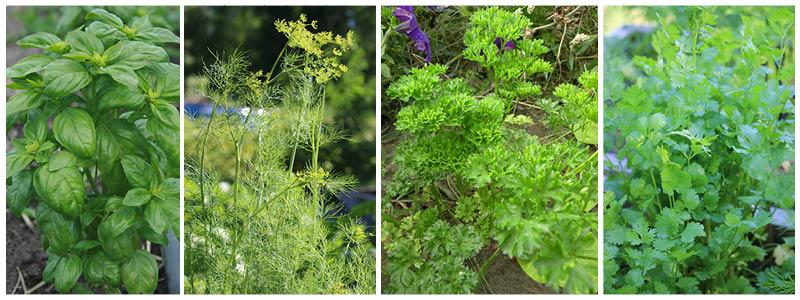 herbs-combo.jpg