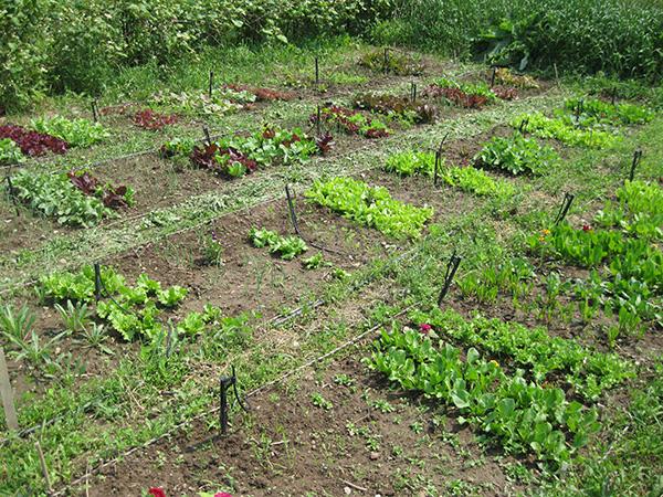 lettuce-plot.jpg