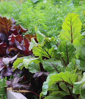 beets-planting-3.jpg