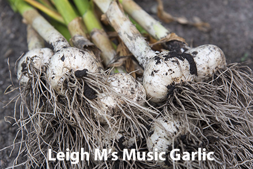 from-leigh-airleighlegal-yahoo.com-id-179-8-music-garlic1.jpg