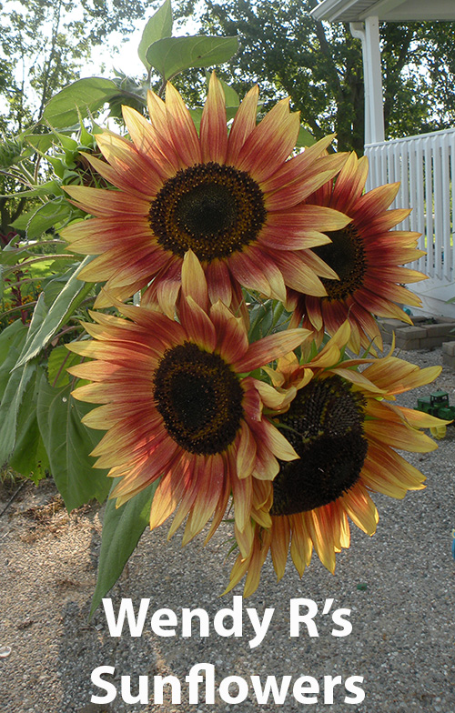 from-wendy-rafalski-wminear27-yahoo.com-id-183-5-sunflower.jpg
