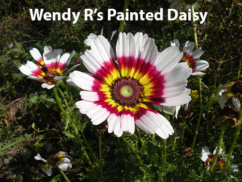 from-wendy-rafalski-wminear27-yahoo.com-id-185-3-painted-daisy.jpg