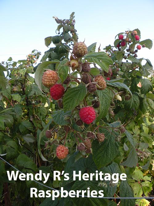 from-wendy-rafalski-wminear27-yahoo.com-id-186-5-heritage-raspberry.jpg