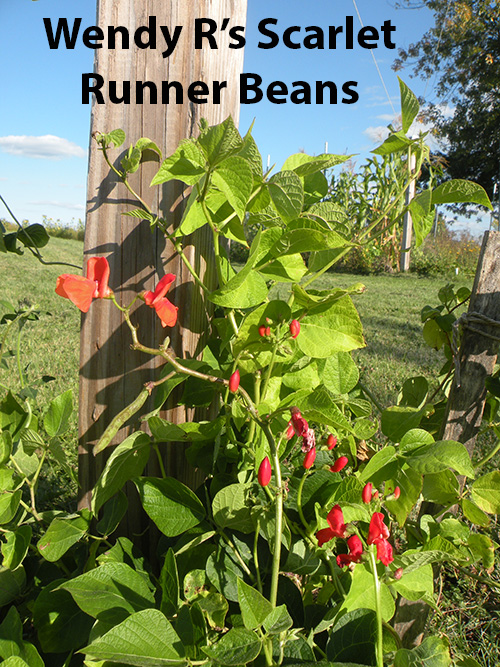 from-wendy-rafalski-wminear27-yahoo.com-id-188-5-scarlet-runner-bean.jpg