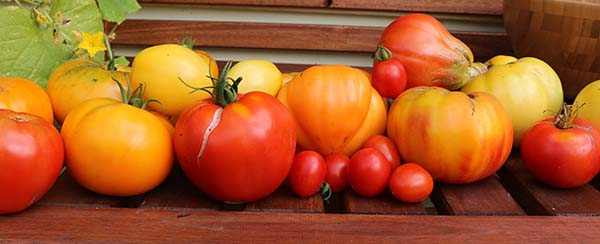 line-of-tomatoes-small.jpg