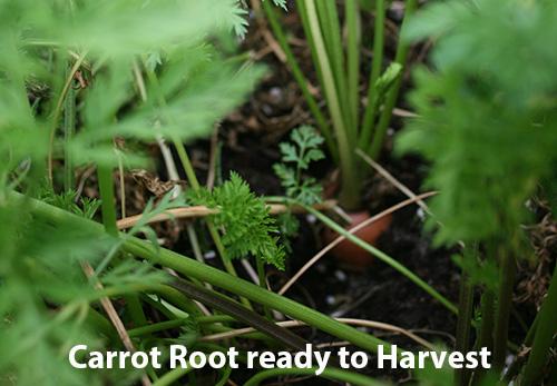 ready-to-harvest.jpg