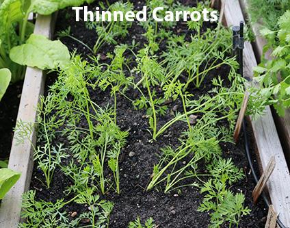 thinned-carrots.jpg